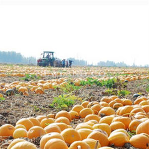 Export to Europe Best Snow White Green Pumpkin Seeds pictures & photos