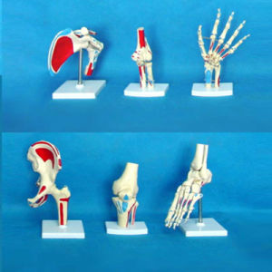 Medical Lab Science Supply Human Joint Skeleton (R020902) pictures & photos