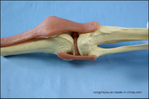 Human Functional Knee Joint Model for School Teaching pictures & photos