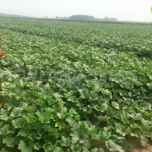 Export Good Quality Fresh Chinese Shine Skin Pumpkin Seeds pictures & photos
