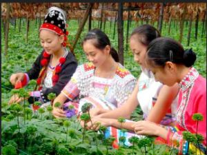 Wenshan Local People Supply Sanqi Flower Tea 4 Years Growth pictures & photos