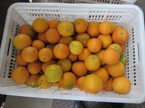 Export Professional Top Quality Navel Orange pictures & photos