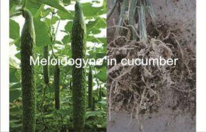 Insecticide Pesticide Formulation Wdg Fosthiazate & Abamectin pictures & photos