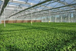 Double Layer Glass Agricultural Green House for Tomato pictures & photos