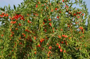 Organic Goji Berry USDA Certified, Ningxia Goji Berry, Chinese Wolfberry pictures & photos