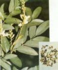 Quercetin - Herbal Medicine