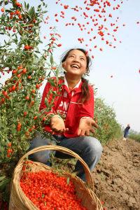 Dried Goji Berries/Organic Goji Berries/Chinese Wolfberry pictures & photos
