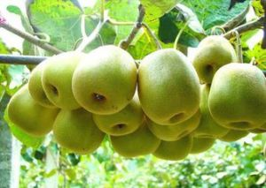 New Crop Kiwi Fruit for Sale pictures & photos