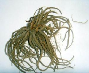 Valerian Root pictures & photos