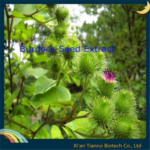 Burdock Seed Extract, Arctium Lappa Seed Extract pictures & photos