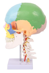 Human Colored Skull with Cervical Vertebra pictures & photos