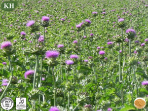 Factory Supply Milk Thistle Extract Silymarin pictures & photos