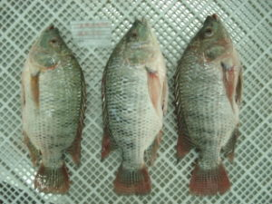 Frozen Gutted / Scaled Tilapia