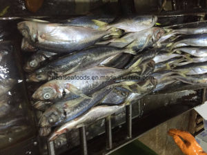 Frozen Horse Mackerel Fish 25cm+ pictures & photos