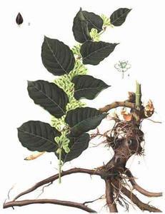 Polygonum Cuspidatum Extract Powder Resveratrol 95% pictures & photos