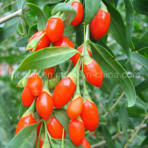 Medlar Lbp Organic Herbs Red Dried Goji Lycium pictures & photos