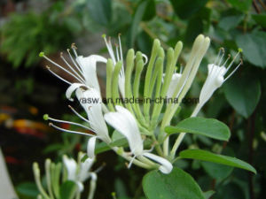 Natural Honeysuckle Flower Extract 5% 50% Chlorogenic Acid pictures & photos