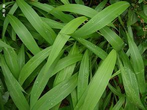 Hot Sale Factory Supply Directly 100% Natural Lophatherum Herb P. E. pictures & photos