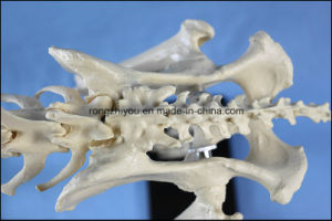 Education Model Canine Skeleton Standard Size Dog Display Lab Teach Veterinary Animals pictures & photos