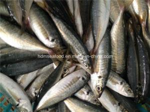 High Quality Frozen Horse Mackerel Fish pictures & photos