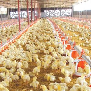 Automatic Modern Feeder Pan System for Broiler Chicken/Breeder Chicken/Layer Chicken pictures & photos