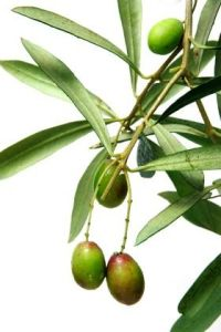 100% Natural Olive Leaf Extract with Oleuropein 4%~60% Hydroxytyrosol 1% pictures & photos