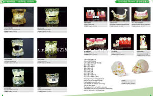 High Quality Dental Study Teaching Model (J Series) pictures & photos