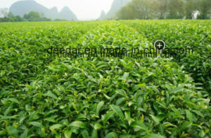 Local Green Tea of Unpolluted Leaves pictures & photos