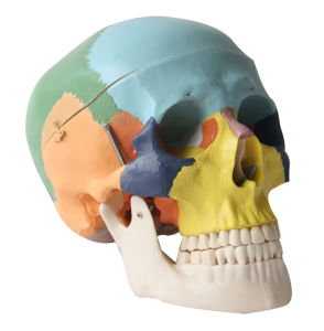 3 Parts Human Colored Skull Model pictures & photos