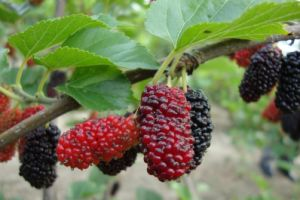 Mulberry Fruit Extract with Anthocyanins for Food Supplement pictures & photos