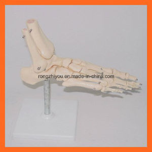 Foot Anatomical Simulation for Medical Teaching