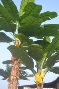 Good Quality Artificial Plants Banana Tree of Gu-Yd1333166 pictures & photos