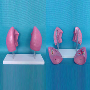 Medical Anatomical Human Lung Structure Model for Teaching (R090201)