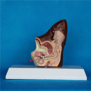 Biology Scientific Teaching Animal Dog Ear Canine Anatomy Model (R190117) pictures & photos