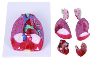 Human Respiratory System Model pictures & photos
