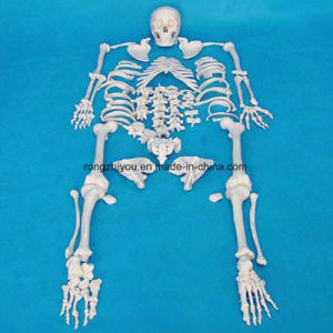 High Quality Medical Teaching Human Skeleton Model Equipment (R020104) pictures & photos