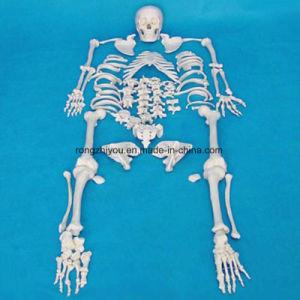 High Quality Medical Teaching Human Skeleton Model Equipment (R020104)