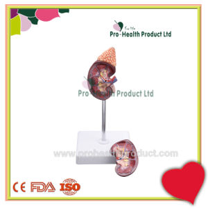 Anatomical Organ 2 Parts Kidney With Adrenal Gland Model pictures & photos