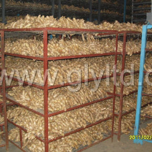 Golden Supplier for Fresh Fat Ginger High Quality pictures & photos