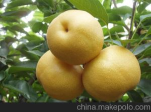 Fresh New Crop Sweet Pear for Exporting pictures & photos