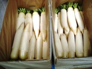 Good Delicious Fresh White Radish (150-200G) pictures & photos