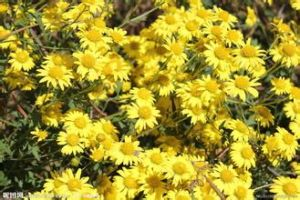 GMP Factory Wild Chrysanthemun Flower Extract/ Chrysanthemum Indicum L. pictures & photos