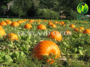 Most Popular and Hot Sale Snow White Pumpkin Seeds 11cm/12cm pictures & photos
