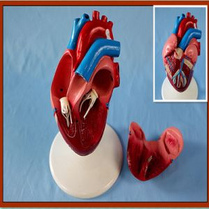 Life-Size Heart Model 2-Part Anatomical Display Model