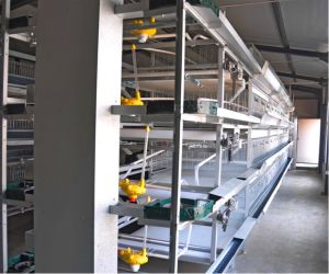 Chicken Poultry Farm Pullet Battery/Automatic Cage for Farmer for Sale Pullet Cages System (H Type Frame) pictures & photos