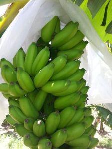 5%UV Polypropylene Non Woven Material Banana Sleeve pictures & photos