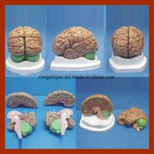 4 Parts Brain Anatomy Mode/Anatomy Brain Model/ Brain Model for Medical Teaching pictures & photos