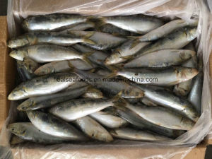 Sardine Wr Frozen Fish for Bait pictures & photos