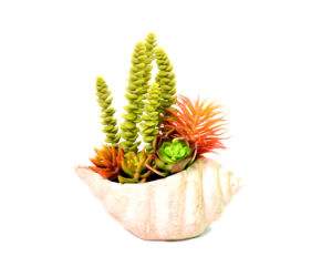 Decorative Mixed Succulent Plant with Lovely Shell-Shape Pot pictures & photos