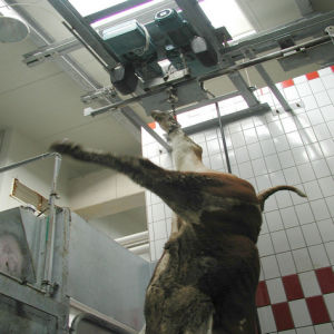 Living Cattle Lifting Machine for Slaughterhouse Equipment pictures & photos